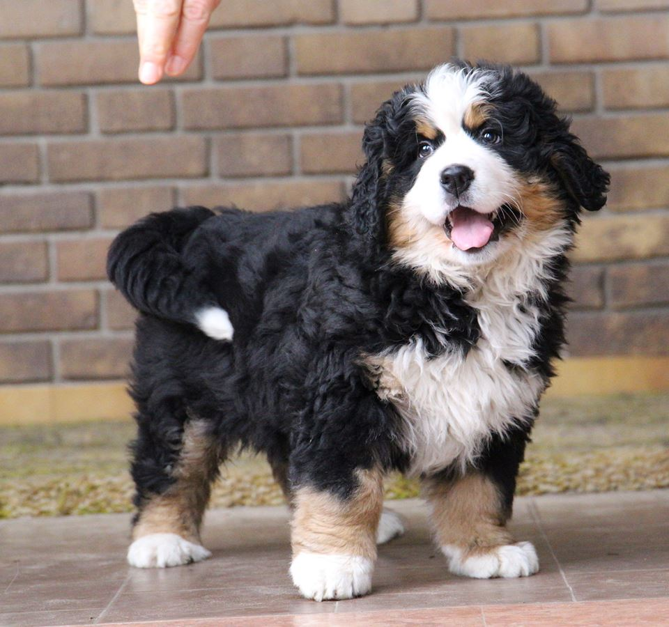 Mini Bernese Mountain Dog For